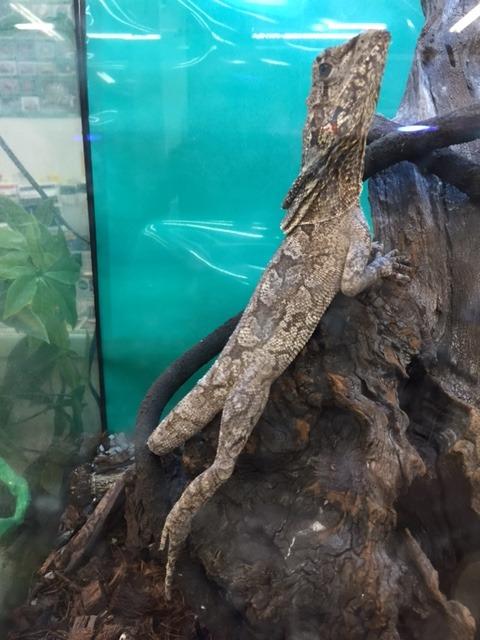 エリマキトカゲの画像 p1_11