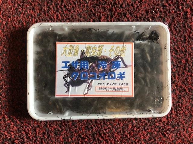 画像1: 冷凍黒コオロギМサイズ 100g 約100匹入り